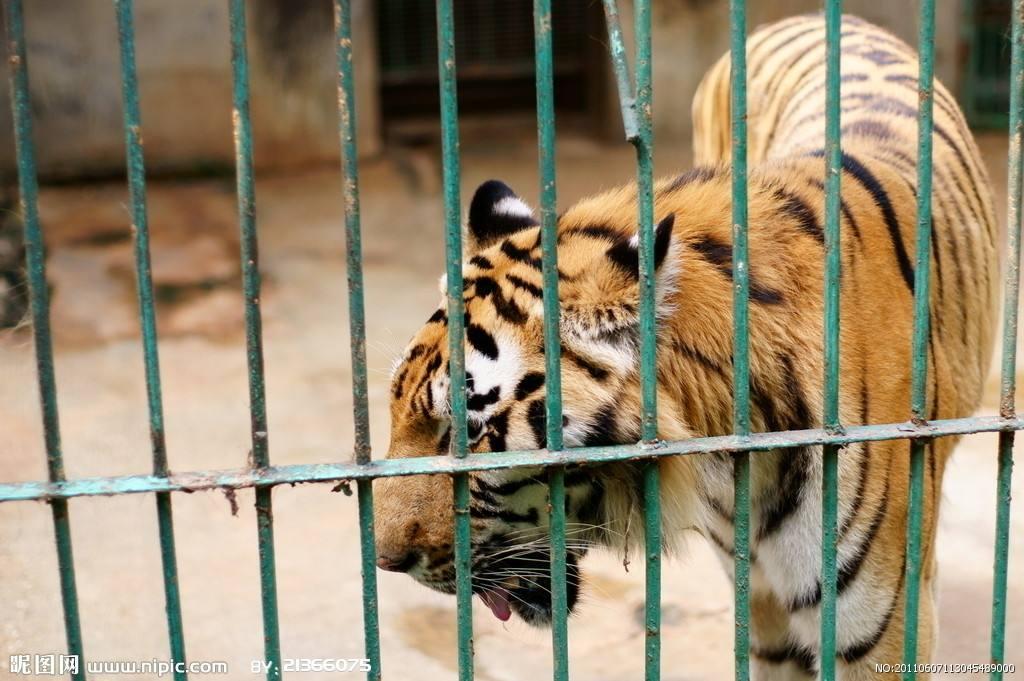 动物商业表演问题频出 是谁在花五六万元租老虎