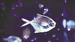 19年坚守只为这条鱼 东海银鲳养殖迈向规模化