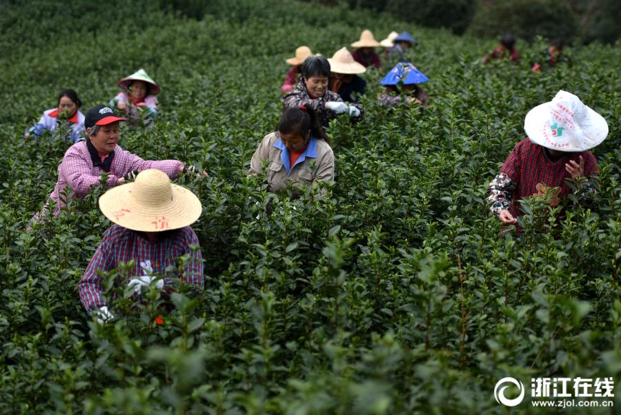 武义:开园采新茶